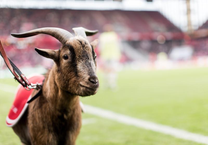 Köln vs. FCB neben Hennes
