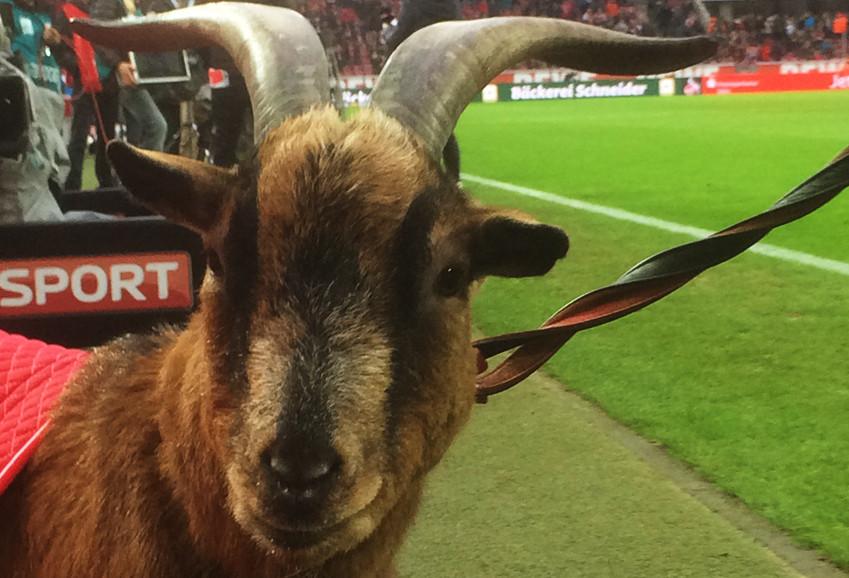 Näher dran geht nicht: Köln gegen BVB neben Hennes am Spielfeldrand
